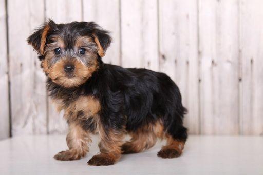 Yorkshire Terrier Puppy For Sale In Mount Vernon Oh Adn 37757 On Puppyfinder Com Gender Male Age Yorkshire Terrier Puppies Yorkshire Terrier Yorkie Terrier