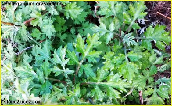 العطرية النفاذة او العطرشة أو العطرشية او العطرة أو اللقلقي Pelargonium Graveolens قسم النبات العطري نبات عطري معلومان عامه معلوماتية Herbs