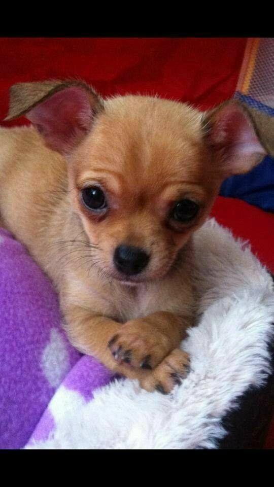 Https Www Facebook Com Sk H Chr Cute Baby Animals Chihuahua