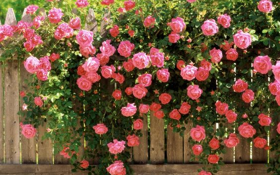 I want these type of roses in the backyard.