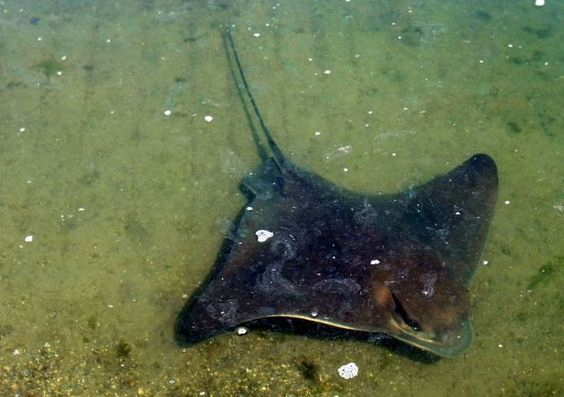 A bat ray glides by in Martin Luther King Regional Shoreline Park in Oakland. The state record catch is 181 pounds. Photo: Lance Iversen, Th...