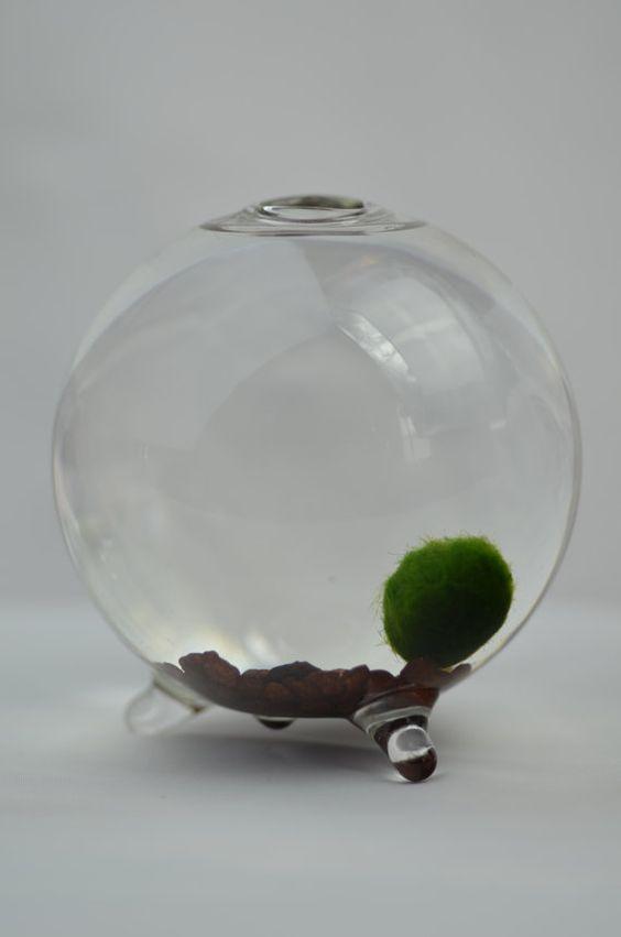 Marimo marimo moss ball and aquarium on pinterest for Marimo moss ball