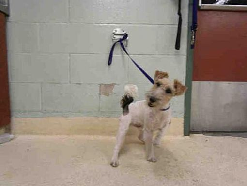 Pictures of VALENTINO a Wirehaired Fox Terrier for adoption in ...