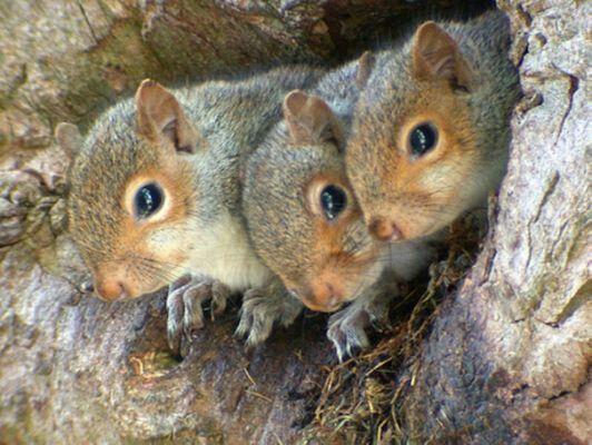 Three Cute Baby Squirrels peeking out of their Den