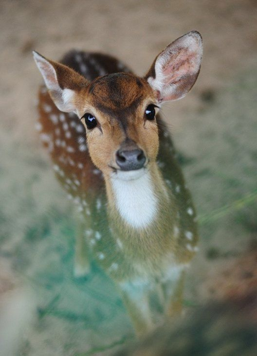 "Life on Earth on Twitter: ""Real life Bambi. Photo by sham.jolimie https://t.co/SqlSXZA9E9"":"