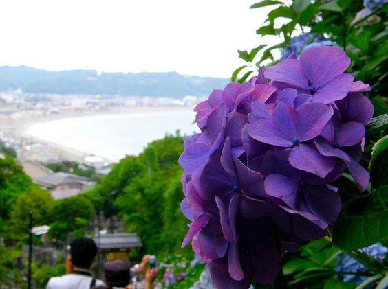 海と紫陽花 - Hydrangea and sea