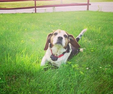 reunited 4/19   A MESSAGE FROM LOST DOG OWNER: A beagle has been missing since this Sunday morning, last seen in Thompson on the top of the hill of the Speedway. Please help us find him. Call 8604208838 if found. His name is Pete and he's friendly.