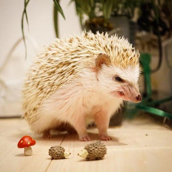 小鞠記念日なのでもう1枚。相変わらず野獣のような顔。 前に並んでるキノコとハリネズミ親子は伊豆四季の花 公園のお土産やさんに売ってたので買ってきました。 #hedgie #hedgehog #ハリネズミ #はりねずみ #hérisson #pet #刺猬 #小鞠