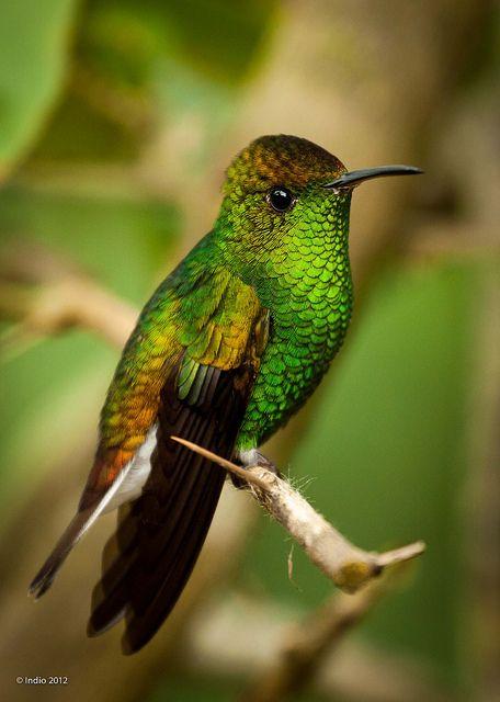 Coopery Headed Emerald Hummingbird -2390 by Jose Calvo Indio, via Flickr