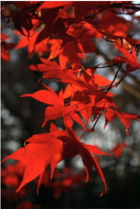 Vertical orientation of red leaves