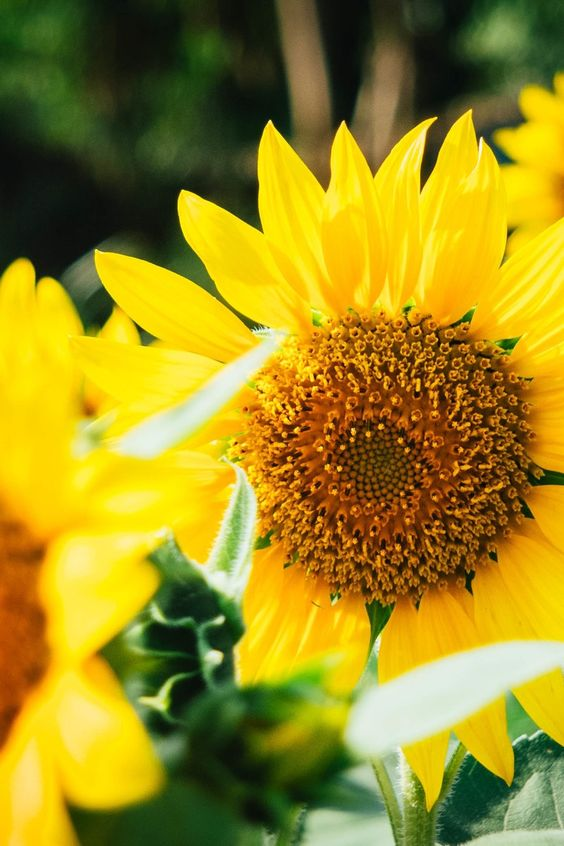 Free download of this photo: https://www.pexels.com/photo/focus-photo-of-yellow-sun-flowers-46085/ #nature #flowers #yellow