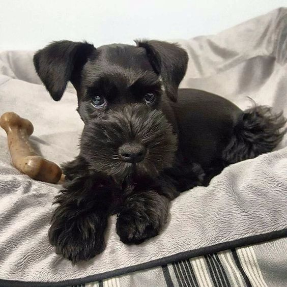 Pin By Lorna Benner On Schnauzer Schnauzer Grooming Schnauzer Puppy Mini Schnauzer Puppies