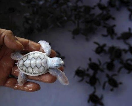 Albino baby turtle  Khram Island, Thailand