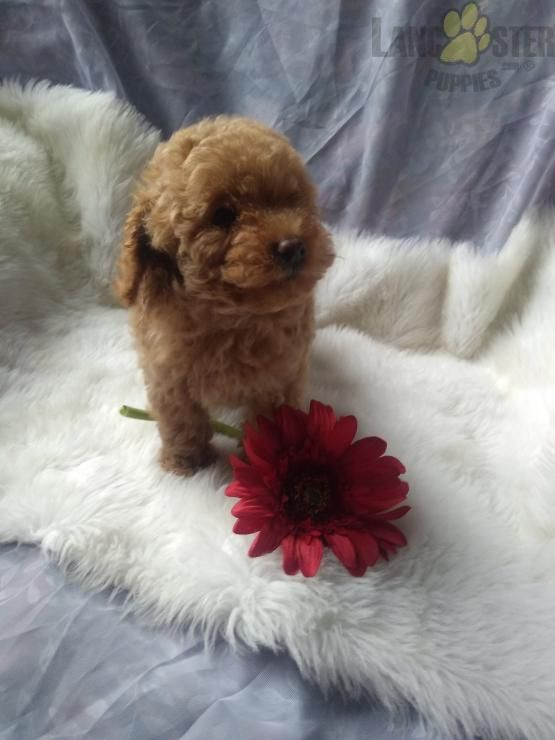 Shelley Miniature Poodles Puppy For Sale In Ephrata Pa