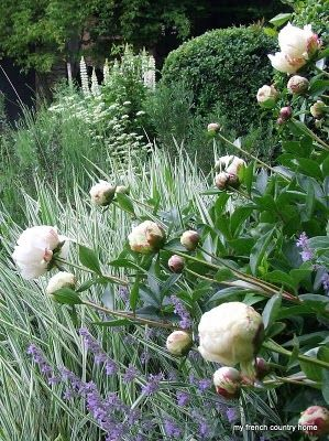 Peonies, Nepeta ( lower purple flower) and white delphinium, variegated grasses look great all summer and fall.