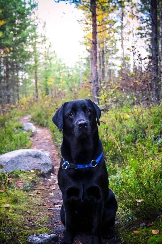 Black Labrador If You Love Labradors Visit Our Blog Labrador