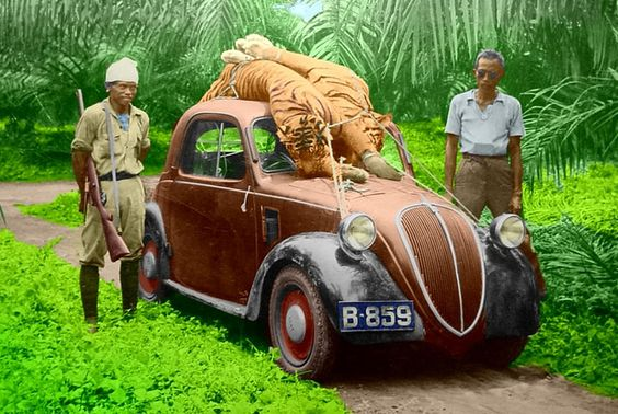 Fiat Topolino on 1930s tiger hunt in former Dutch Indies.    This picture was taken in the late 30's in the former Dutch Indies (now Indonesia).