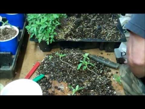 This guy has little room from his grow light and heating mat so he germinates around 100 seeds at a time in one germinating tray. Takes more time to separate them for transplant to not break the root.