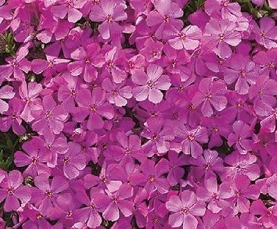 PHLOX SUBULATA 'EMERALD PINK' -CREEPING PHLOX - PLANT