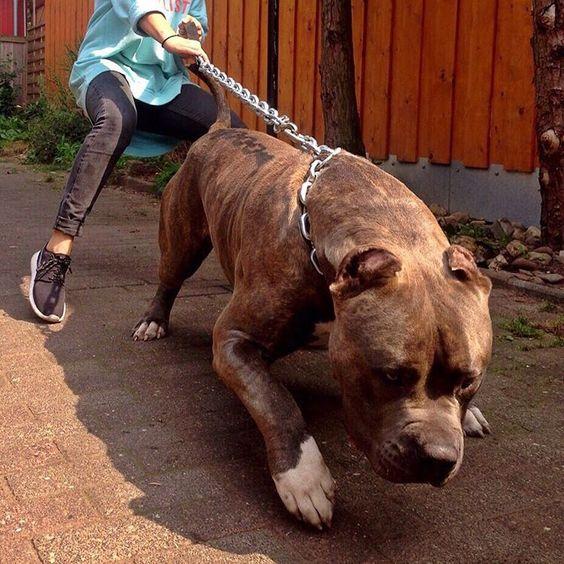 """Babaline's Assad 160lbs/73kg !! Bone Monster!! Make sure to Follow ❗️ ❗️ ❗️ @babaline_xxl_pitbulls_bullys @babaline_xxl_pitbulls_bullys #beautiful #beast…"":"