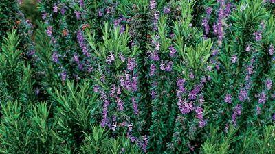 Rosmarinuss Officinalis
