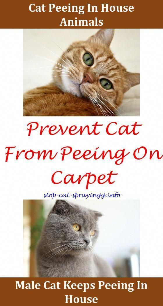 Cat Spray Cleanses What To Use To Get Rid Of Cat Pee Smell Cat Spraying Apple Cider Cat Urine Remover Animals Cat Peeing Dogs Cat Urin Cat Pee Smell Pee Smell Cat Pee