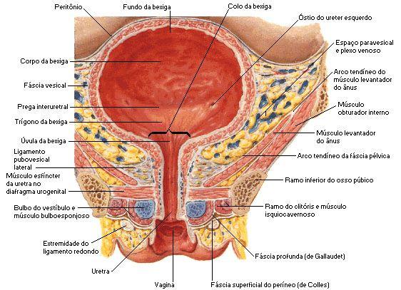 Sistema Urinario Sistema Urinario Aula De Anatomia Faculdade