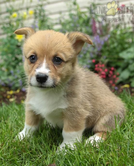 Jupiter Welsh Corgi Pembroke Puppy For Sale In Mill Hall Pa Lancaster Puppies Pembroke Welsh Corgi Puppies Corgi Puppies