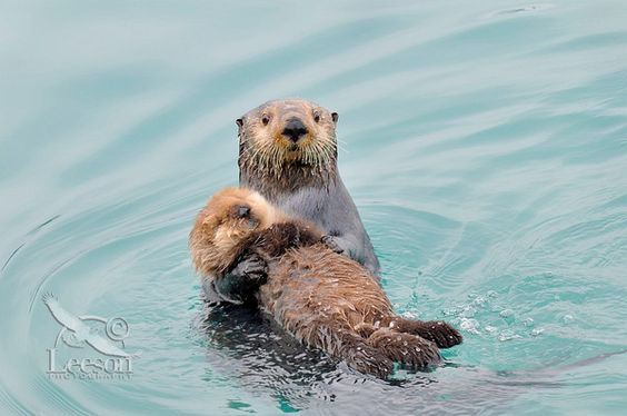 Baby sea #otter and #mother