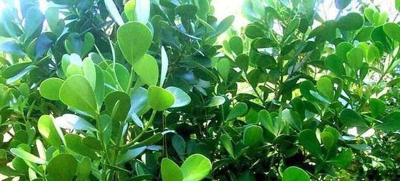 Clusia rosea by IslandJim  Full sun in zone 10b. Florida native, also grown as a houseplant.
