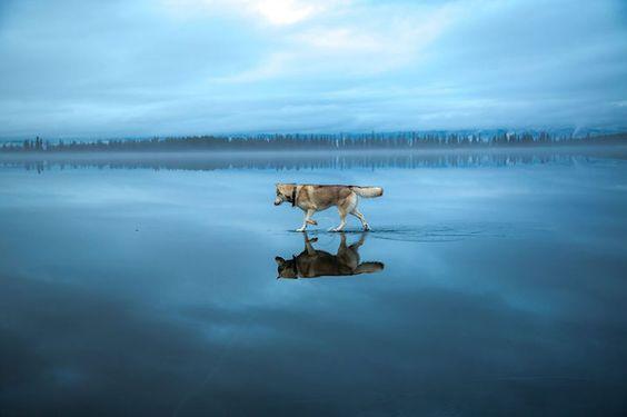 Two Huskies Appear to Walk on Water Across the Surface of a Frozen Lake http://www.mymodernmet.com/profiles/blogs/fox-grom-huskies-on-frozen-lake
