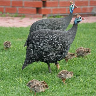 Helmeted Guineafowl, Everywhere South Africa. These birds are my alarm clock!