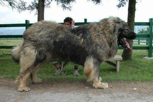 Und dieser Hund, mit dem Du Dich niemals anlegen solltest. | Community Post: 19 unglaublich riesige Hunde, die Dich gerne umwerfen wollen