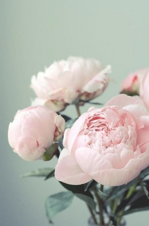 blush peonies #flowers