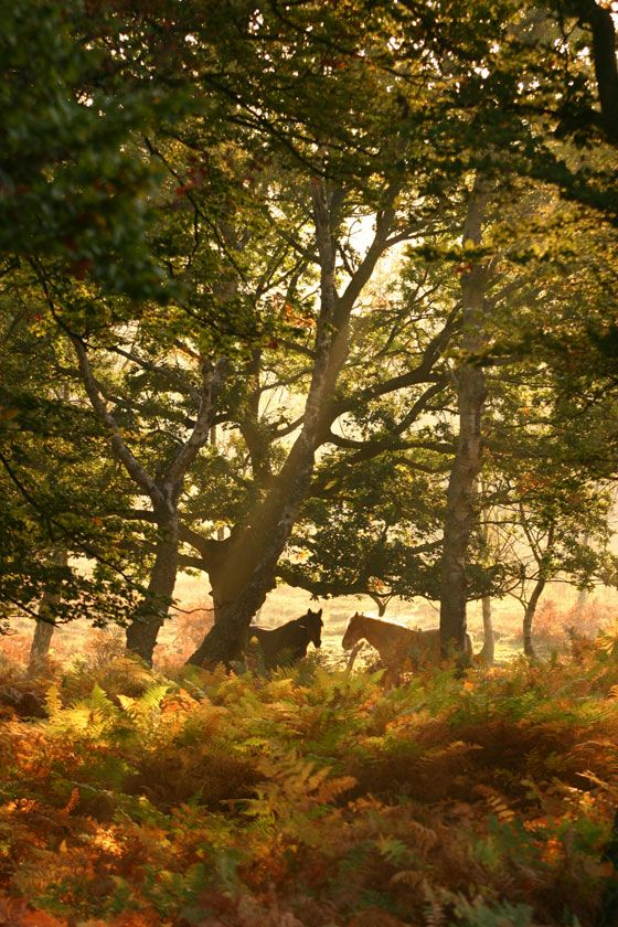 "New Forest Ponies, England. Have a bite at The Fallen Tree, or be brave and pack a picnic lunch! Make sure to see some New Forest Ponies! About 3,000 ""wild"" ponies can be sighted wandering throughout the forest. Grab a pint at the nearby Foresters A"