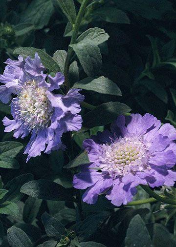 pincushion flowers.