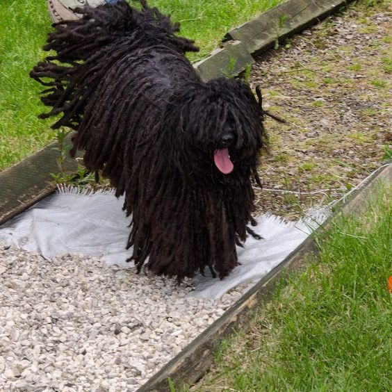 (1) hungarian puli - Twitter Search