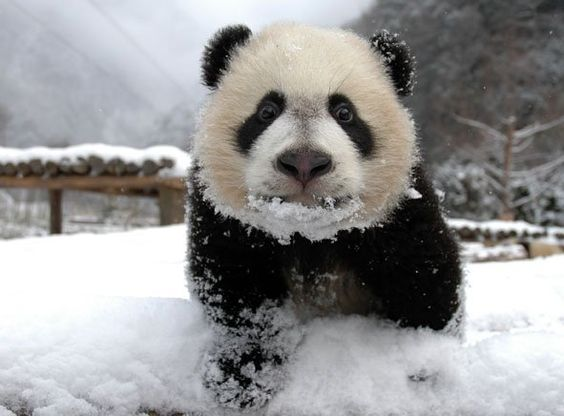 Panda cubs playing in snow - photo#21