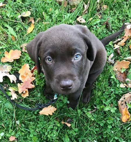 Chocolate Lab Puppy On The Grass Labradorretriever Doglovers Cute Puppies Labs Barkinglaughs Labrador Retriever Labrador Retriever Puppies Lab Puppies
