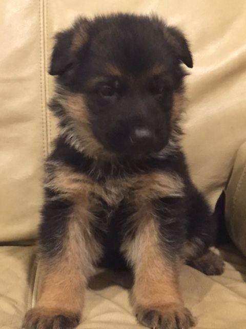 German Shepherd Dog Puppy For Sale In Auburn Wa Adn 30407 On