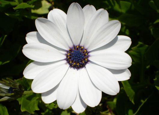 Osteospermum o Margarita del Cabo