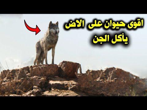 لماذا يخاف الجن من الذئب وكيف ياكل الذئب الجن وكيف تنجو من ذئب اذا اصبح امامك فى الطريق Youtube Stories