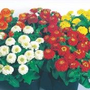 Flower Bulbs, Buy Flower Bulbs Online, Flowering Bulbs.  http://kraftseeds.com/flower-bulbs/flower-bulbs-online