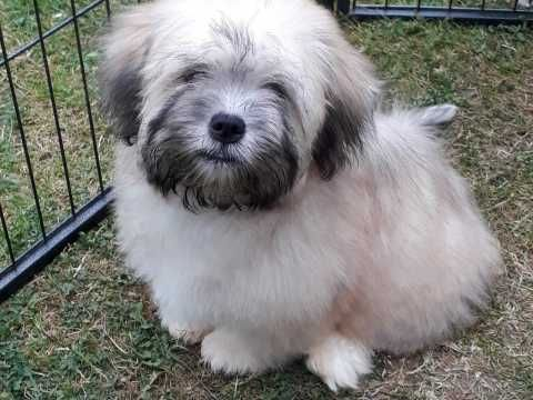 Ready Now Coton X Puppy Girl Warrington Cheshire Pets4homes Puppies Lhasa Apso Lhasa Apso Puppies