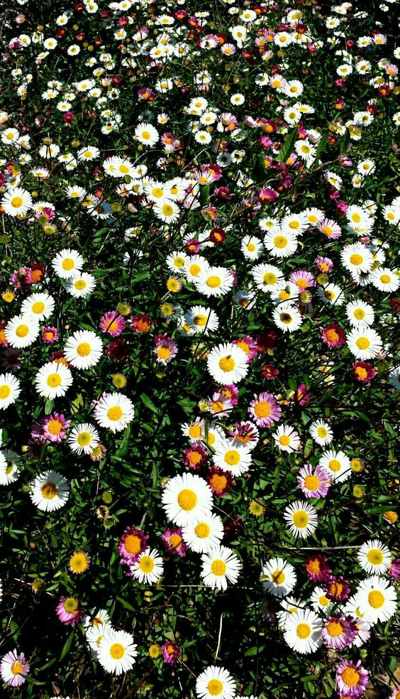 daisies Nature, Flower aesthetic, Beautiful wallpapers