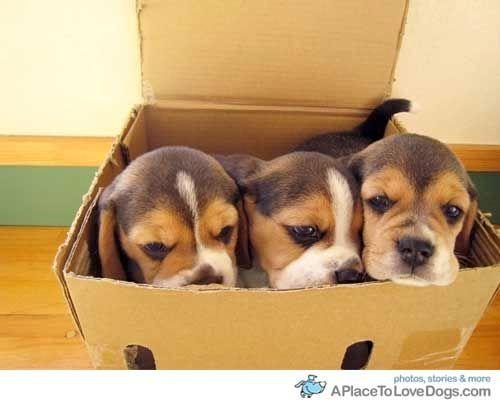 Box O Beagles Beagle Puppy Cute Beagles Cute Animals