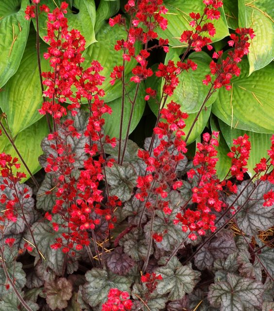 Heuchera: 'Hollywood' - Height: 8 inches, Spread: 12 inches, Zones: 4-9, Light: Part Sun to Part Shade, Watering: Dry to Average, Bloom Period: Late Spring - Midsummer, Attracts Butterflies: Yes, Animal Resistance: Deer,  Soil Needs: Average, Fertile