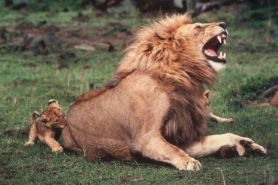Lion Playing with Cub - I love this