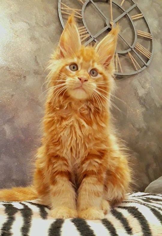 Pin On Maine Coon Cats Funnies Facts And Fur