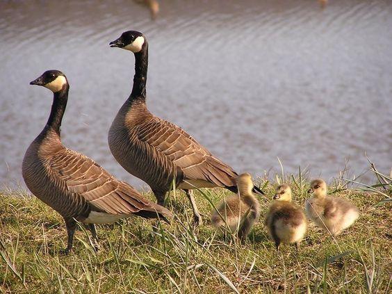 canada goose discounts using discover
